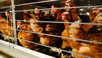Galline in gabbia (foto: Compassion in World farming) (ANSA)